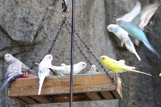 Budgie Landing at Knoxville Zoo