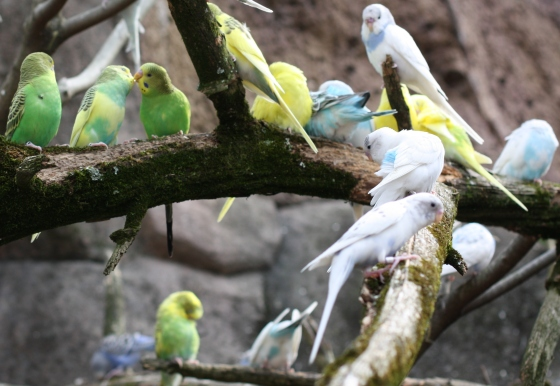 Branches are filled with pretty Budgies.
